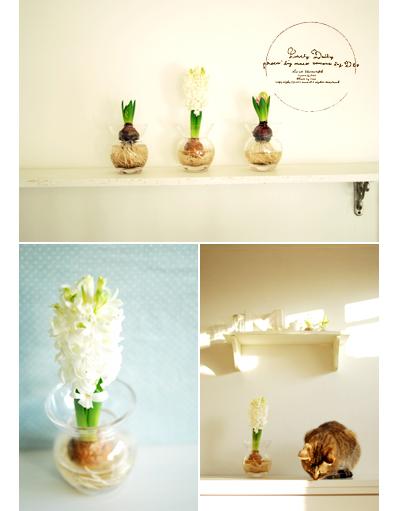 Hyacinth04