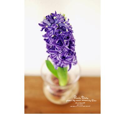 Hyacinth05
