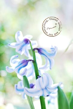 Hyacinth02_2
