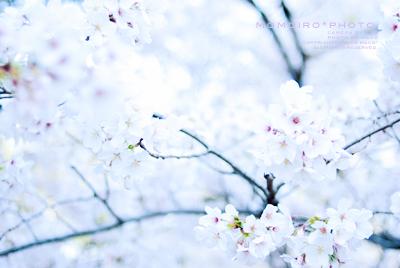 Sakura201102