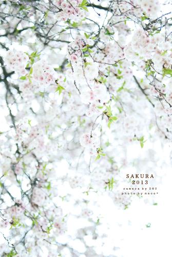 Sakura201302_2